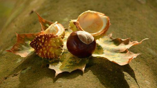 chestnut autumn golden october