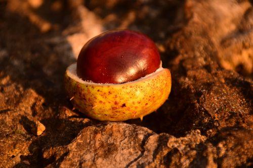 chestnut horse chestnut ordinary rosskastanie