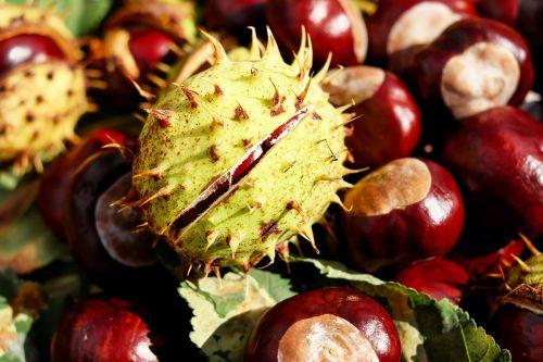 chestnut buckeye red buckeye