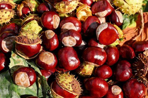 chestnut buckeye fruits
