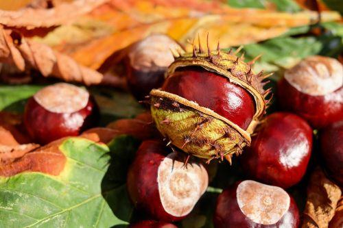 chestnut buckeye open