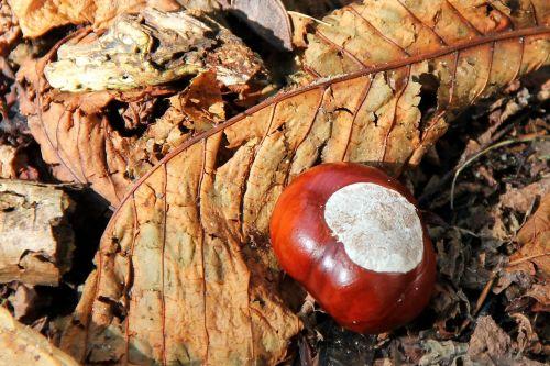 chestnut buckeye autumn