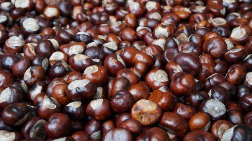 chestnut brown horse chestnut