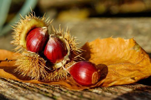 chestnut chestnuts fruit