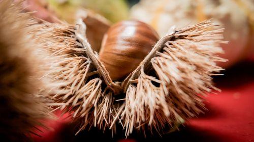 chestnut chestnut shell fruit cups