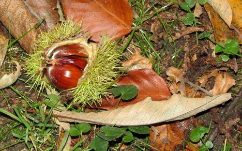 chestnut castanea sativa sweet chestnuts
