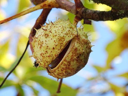 chestnut chestnut tree chestnut fruit