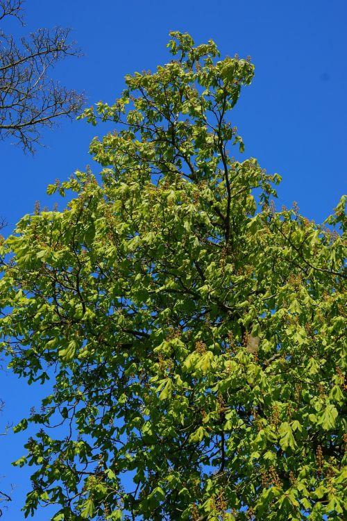 chestnut spring tree