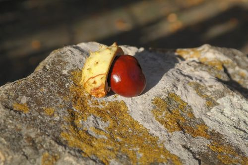 chestnut sleeve shell