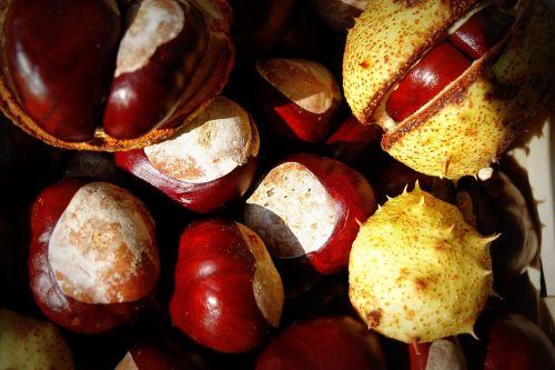 chestnut autumn trees
