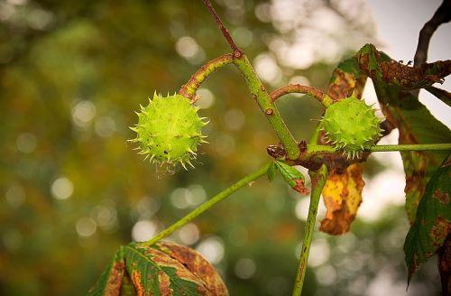 chestnut fruit immature