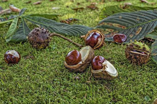 chestnut common rosskastanie aesculus hippocastanum