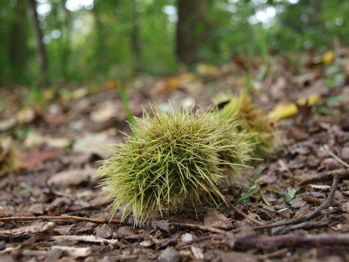 chestnut forest autumn