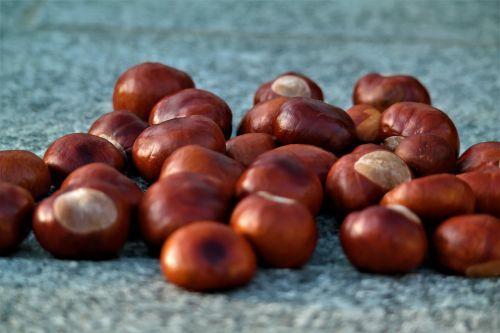 chestnut autumn buckeye