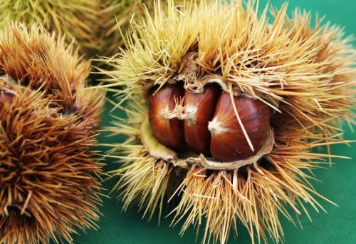 chestnut chestnuts curly