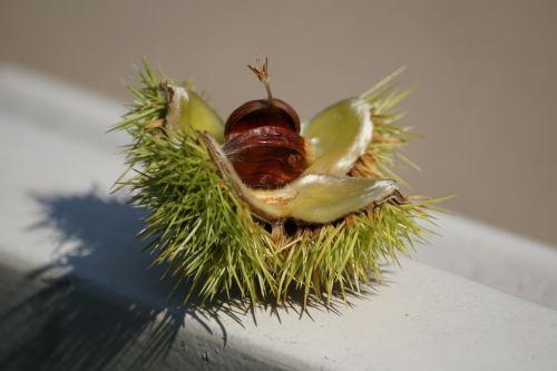 chestnut tree autumn