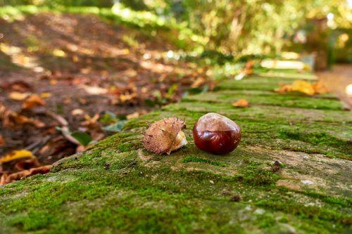 chestnut autumn moss
