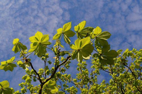 chestnut chestnut leaves chestnut tree