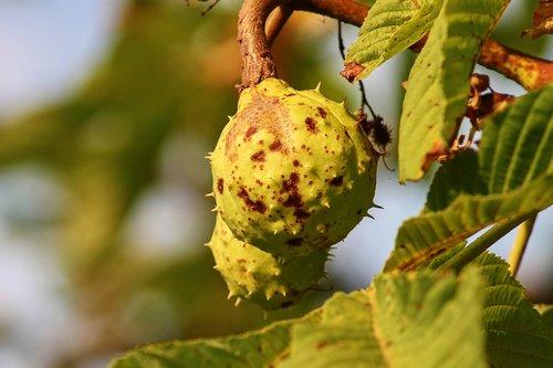 chestnut  chestnut tree  green