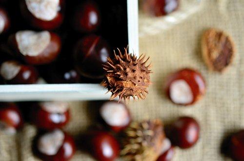 chestnut  horse chestnut  gather chestnuts