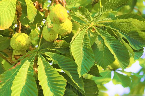chestnut  nature  tree