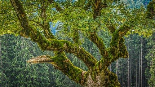 chestnut  moss  forest