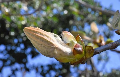 chestnut  bud  ornamental tree