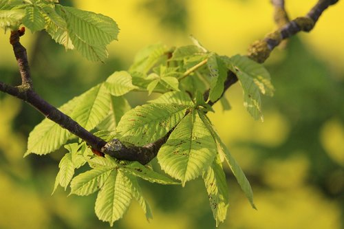 chestnut  chestnut tree  chestnut leaves