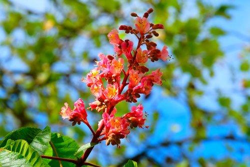 chestnut  blossom  bloom
