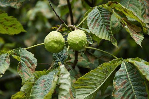 chestnut chestnut tree summer