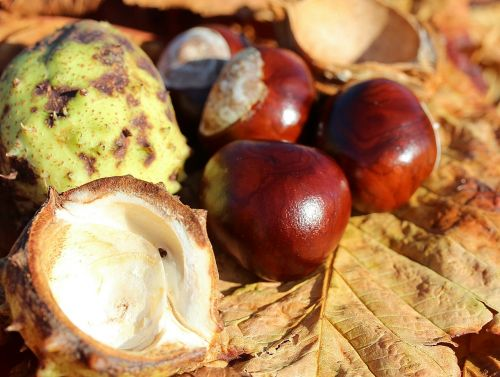 chestnut castanea castanea sativa