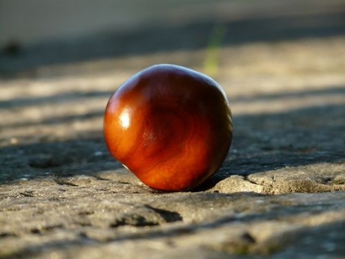 chestnut buckeye fruit