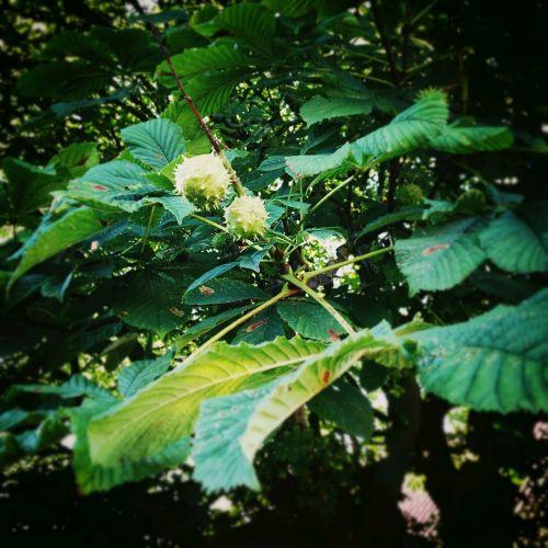 chestnut chestnut tree tree