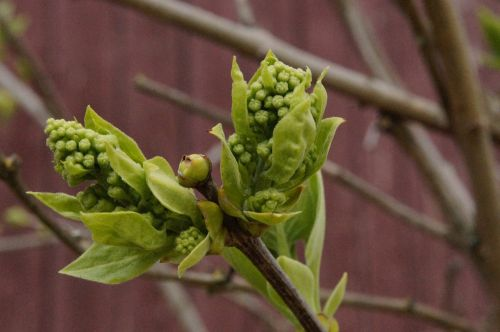 chestnut sprout bud