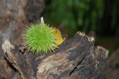 chestnut sting prickly