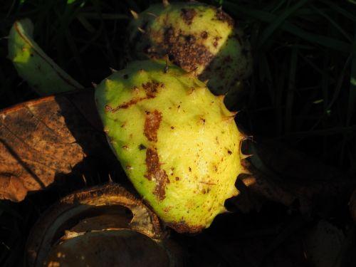chestnut shell fruit