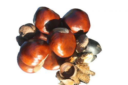 chestnut fire isolated