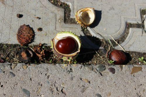 chestnut buckeye walnut