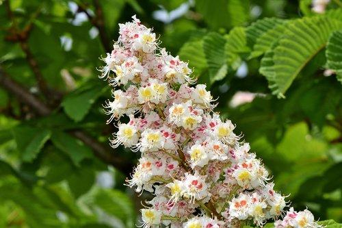 chestnut blossom  chestnut  inflorescence
