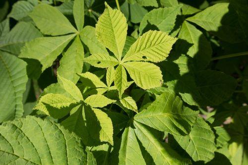 chestnut leaf chestnut tree