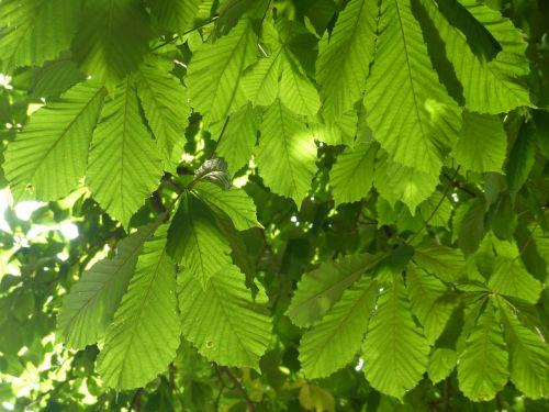 chestnut leaves leaves green