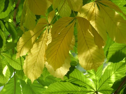 chestnut leaves leaves yellow