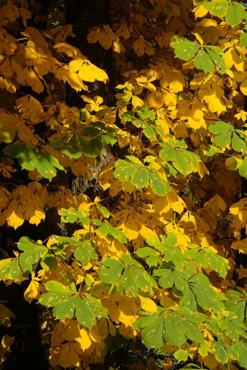 chestnut leaves autumn fall color