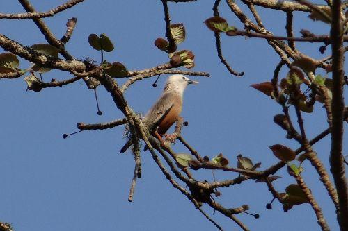 starling malabar white-headed starling white-headed myna