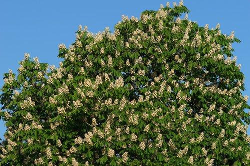 chestnut tree  romantic  isolated