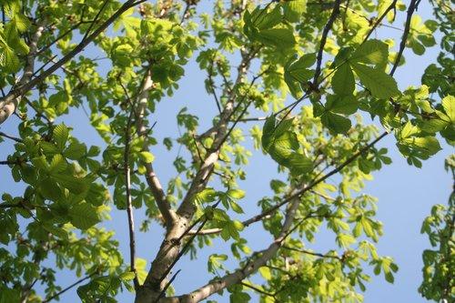 chestnut tree  chestnut  beer garden