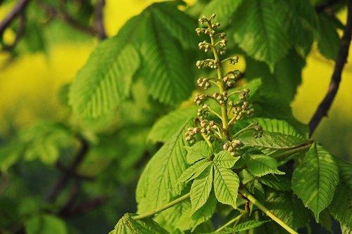 chestnut tree  chestnut  tree