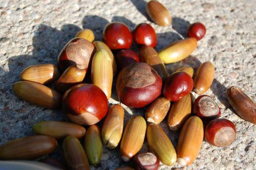chestnuts acorns autumn
