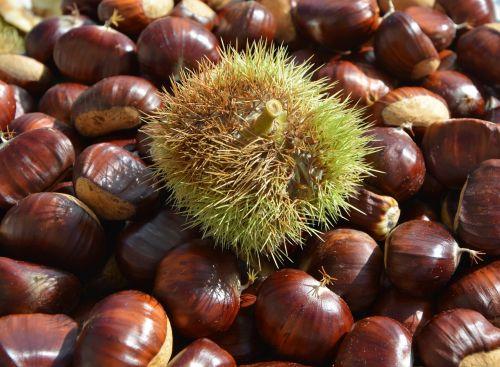 chestnuts bug bug thorny