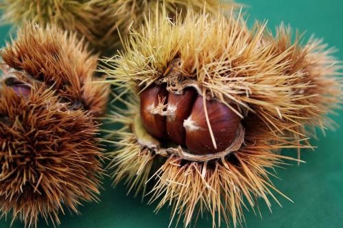 chestnuts chestnut curly